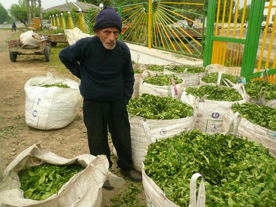 Žmogus dirbantis arbatos plantacijose copy